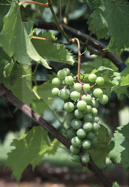 Wine Grapes, Cream Ridge Winery